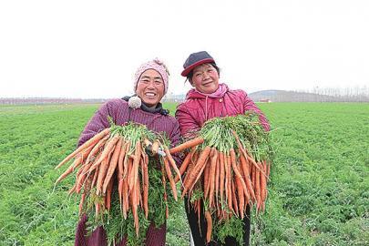 水果胡萝卜走红   济南种植近千亩
